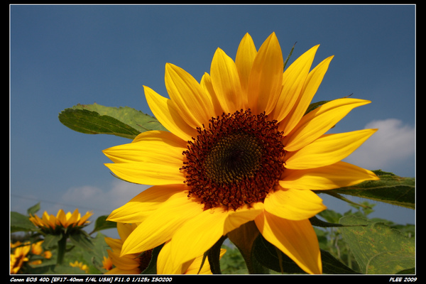 Sunflower_24.jpg