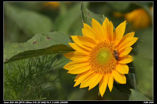 Sunflower_06.jpg