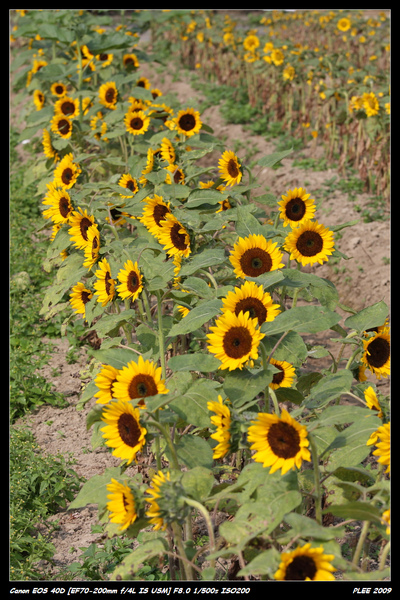 Sunflower_09.jpg