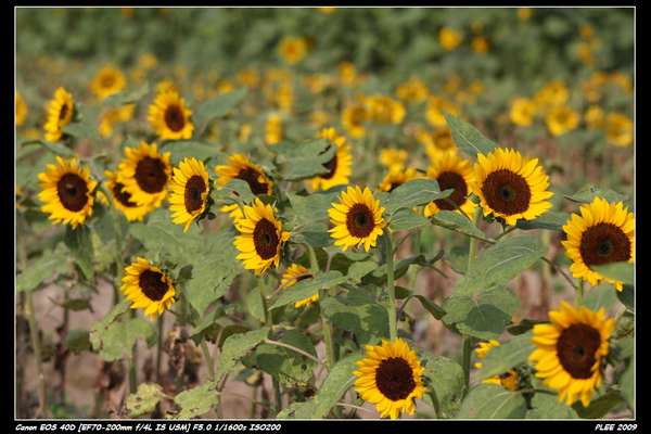 Sunflower_10.jpg