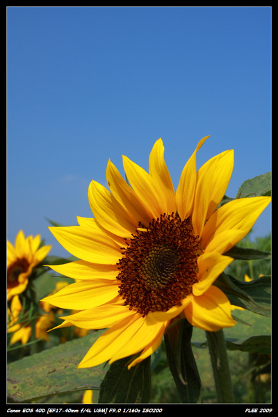 Sunflower_15.jpg