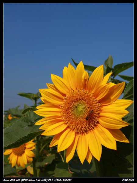 Sunflower_17.jpg