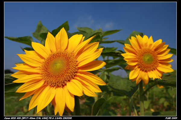 Sunflower_19.jpg