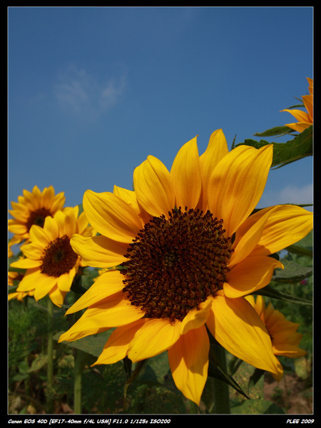 Sunflower_22.jpg