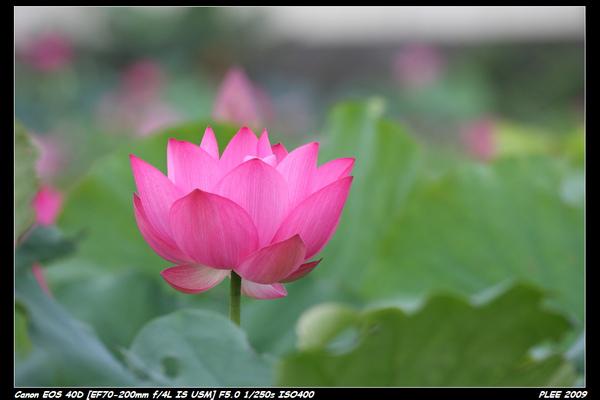 Lotus_01.jpg