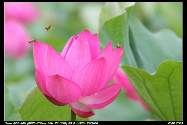 Lotus_04.jpg