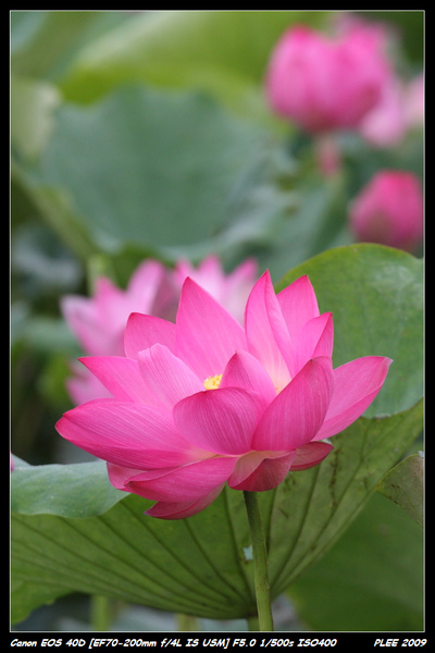 Lotus_05.jpg