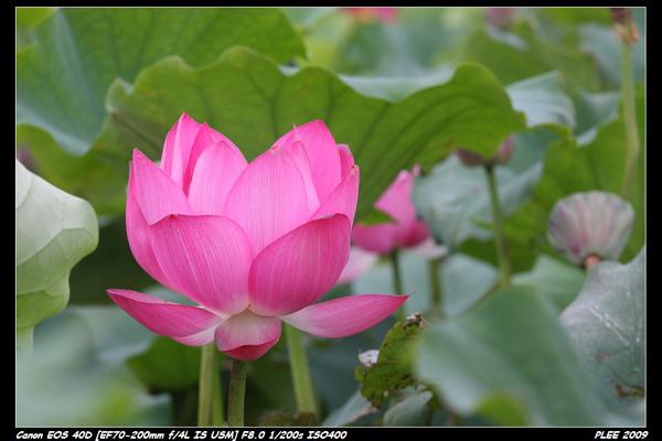 Lotus_06.jpg