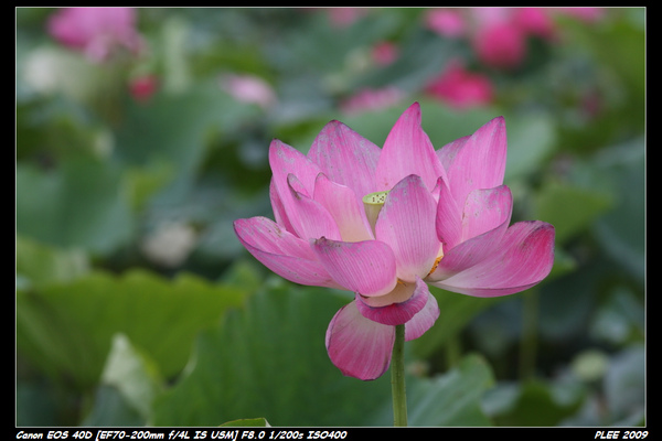 Lotus_07.jpg