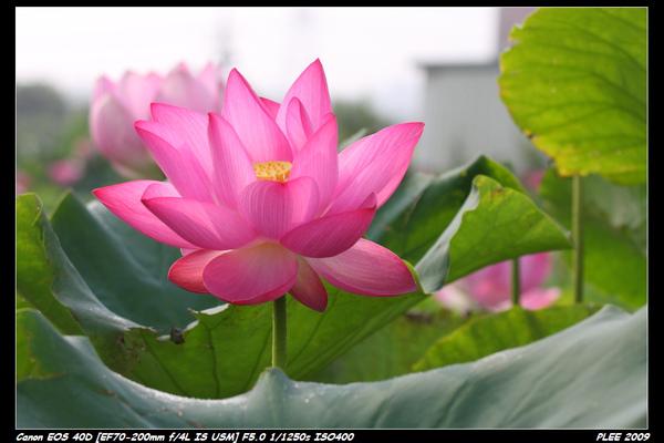 Lotus_08.jpg