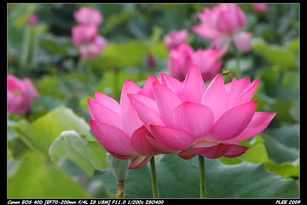 Lotus_12.jpg