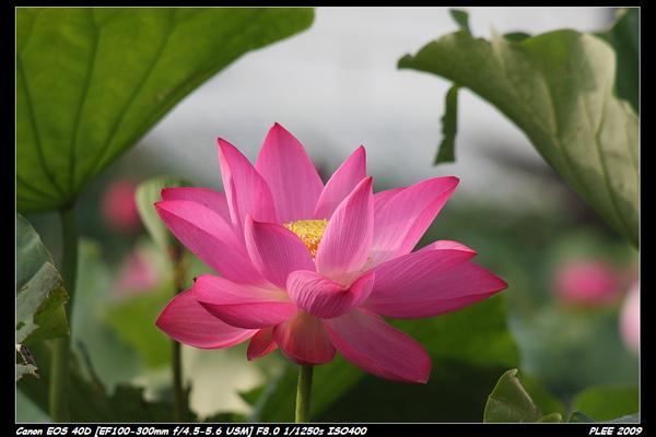 Lotus_13.jpg