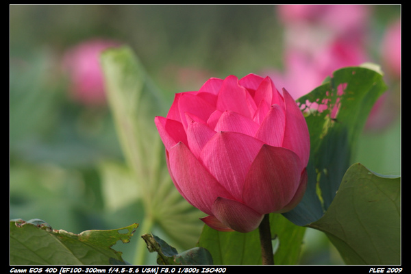 Lotus_14.jpg