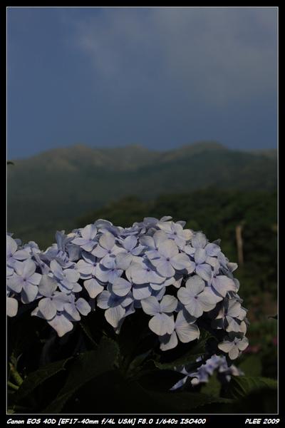 Hydrangea_10.jpg