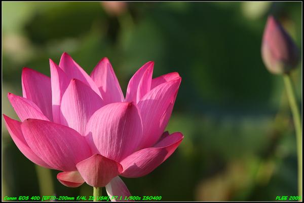 Lotus2_03.jpg