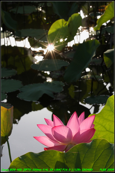 Lotus2_05.jpg
