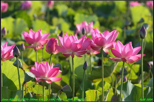 Lotus2_07.jpg