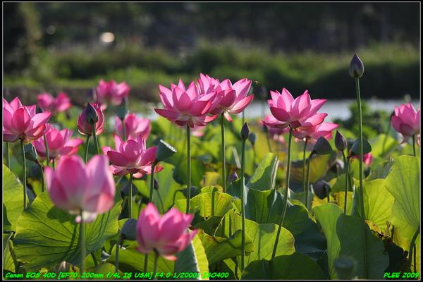 Lotus2_09.jpg