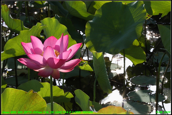 Lotus2_11.jpg
