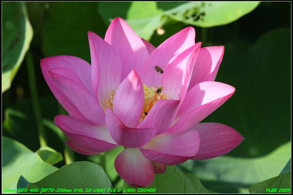 Lotus2_13.jpg
