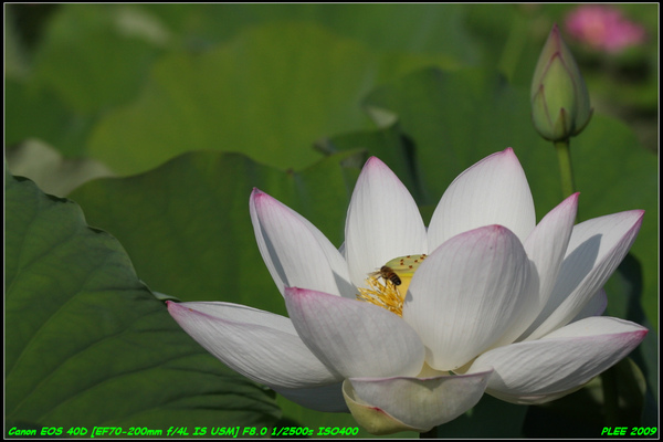 Lotus2_15.jpg