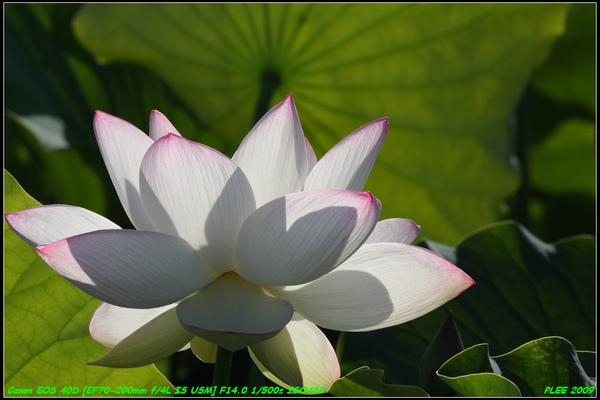 Lotus2_17.jpg