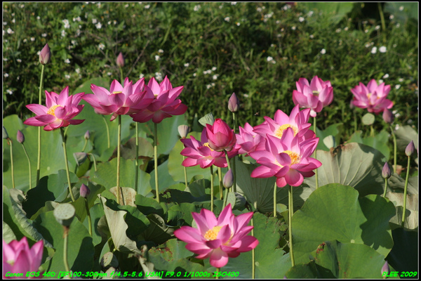 Lotus2_19.jpg
