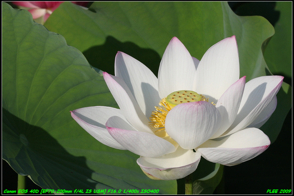 Lotus2_14.JPG