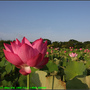 Lotus2_01.jpg