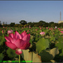 Lotus2_02.jpg
