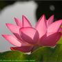 Lotus2_04.jpg