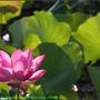 Lotus2_06.jpg