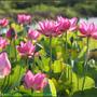 Lotus2_08.jpg