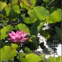 Lotus2_12.jpg