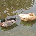 龍潭大水池-鴨子休息會把頭藏在翅膀, 而且是單腳站立耶~