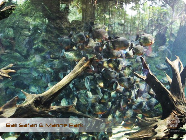 Bali Safari & Marine Park Piranha Feeding.jpg