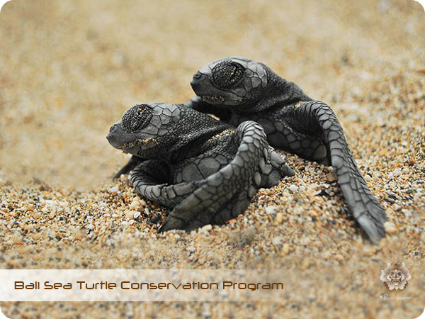 Bali Sea Turtle Conservation Program.jpg