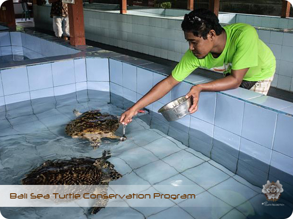 Bali Sea Turtle Conservation Program7.jpg