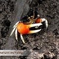 Bali Mangroves Forest Crab.jpg