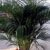 6 雪佛里椰子