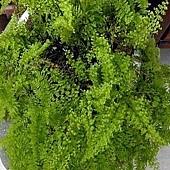 7 皺葉腎蕨