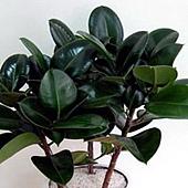 8 印度橡膠樹