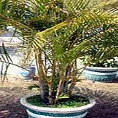 12黃椰子