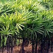 14觀音棕竹