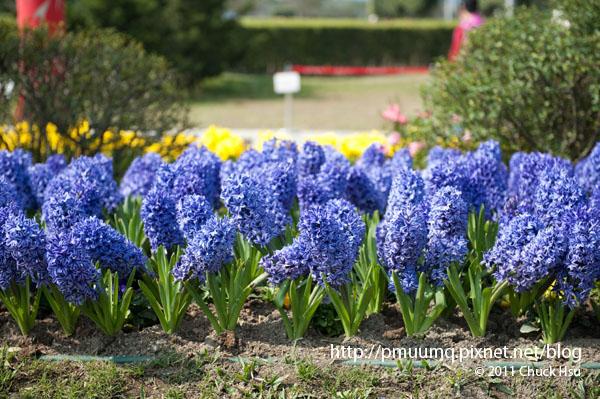 風信子Common hyacinth 有著悲傷又浪漫的故事(2010台北花博 Taipei Expo).jpg