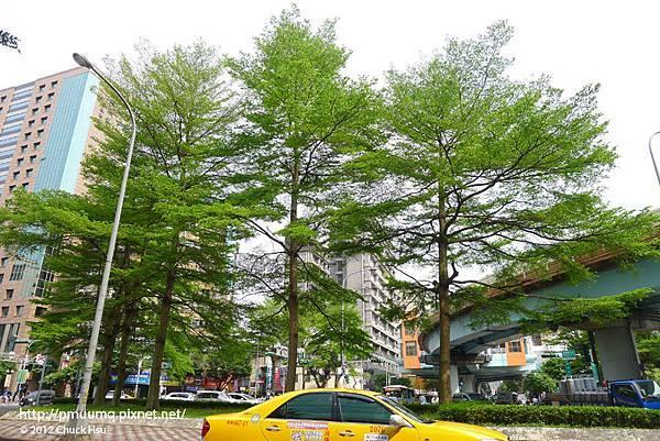 @基隆路和平東路口圓環 住著台北市最美的細葉欖仁(懶人)樹