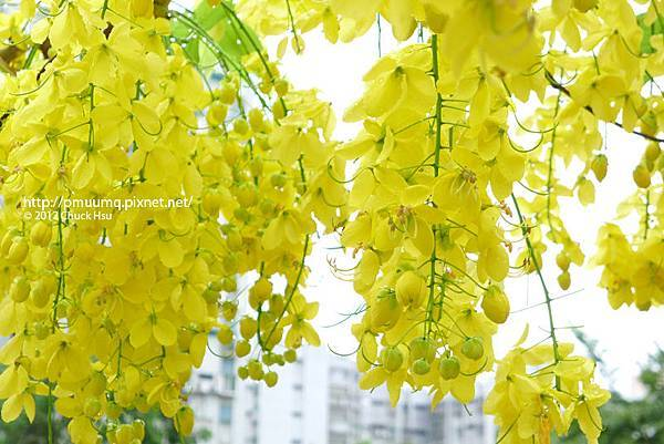雨中的阿勃勒 阿勃勒又名為黃金雨 (Golden Shower Tree)
