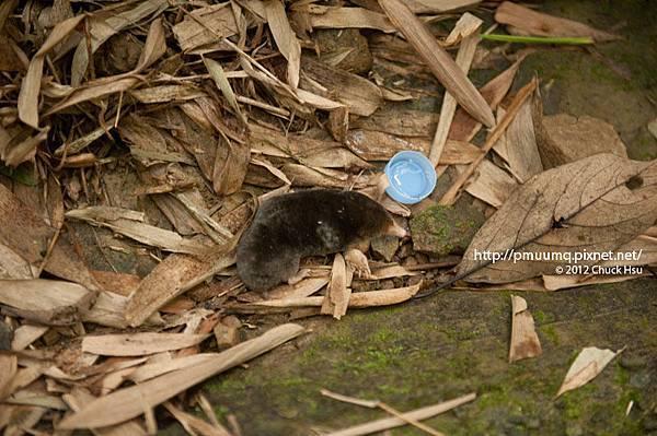 搶救土撥鼠(台灣鼴鼠)大作戰-1