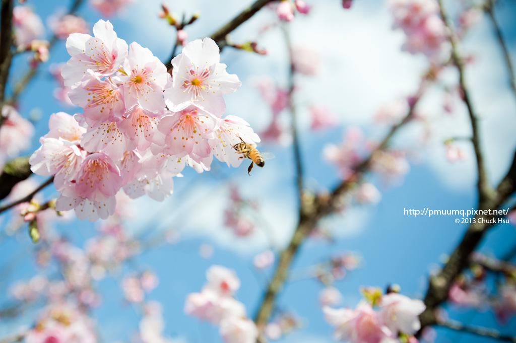 找春~  這兩天大好天氣櫻花開得好燦爛~ 20130115