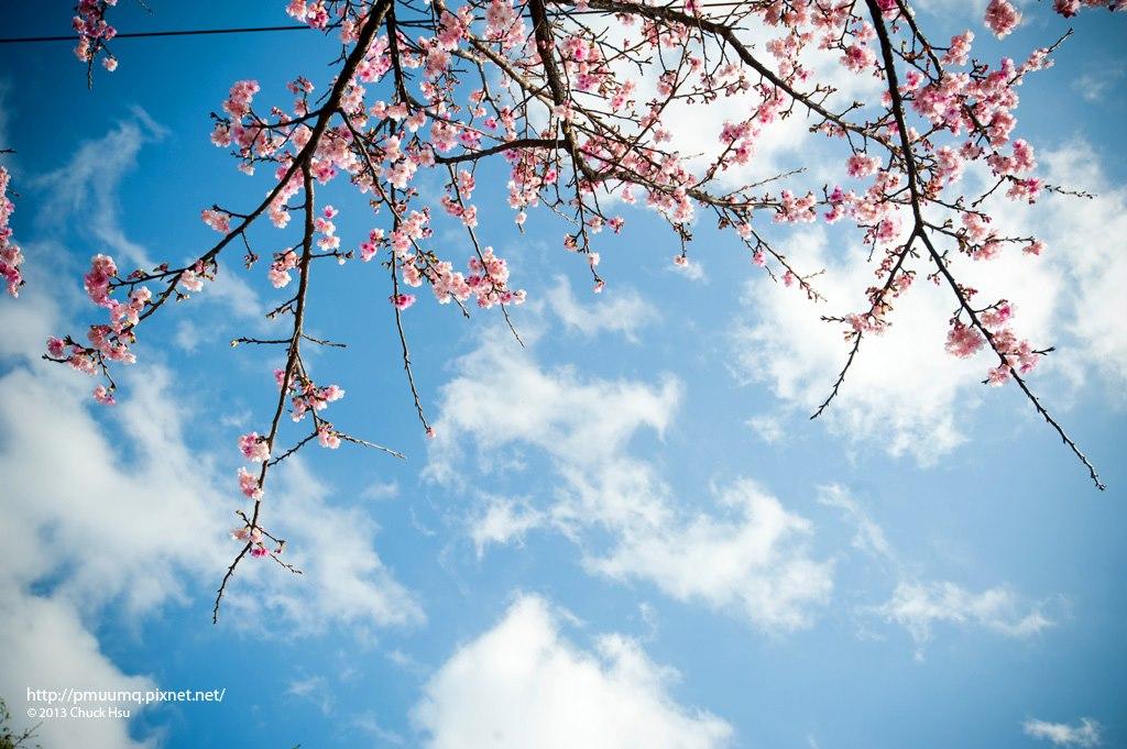 好個櫻花天  台北難得有的好天氣,即使櫻花只有綻放50%,也夠叫人沈醉了 20130115